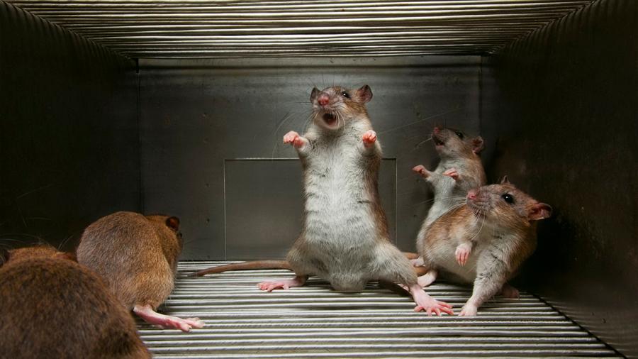 Un tratamiento con células madre resulta efectivo frente a los trastornos por consumo de alcohol en ratas