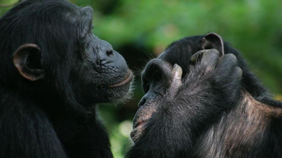 Bonobos y chimpancés son capaces de entenderse con gestos