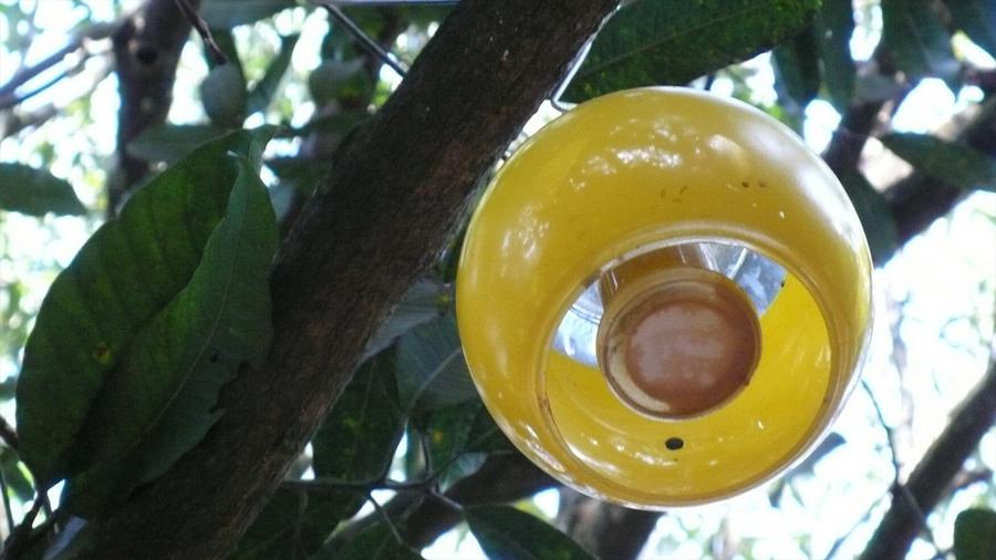 Patentan científicos mexicanos dispositivo que atrapa y nulifica a la dañina mosca de la fruta