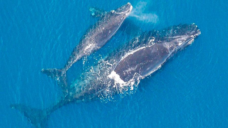 Se agrava la situación de la ballena franca glacial: no tuvo crías este año