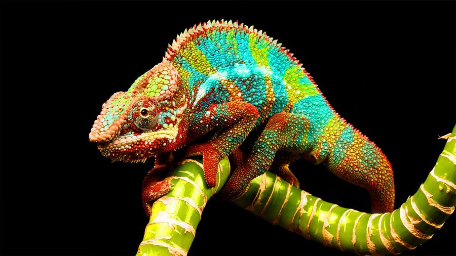 El camaleón inspira un nuevo material sintético que se endurece y cambia de color