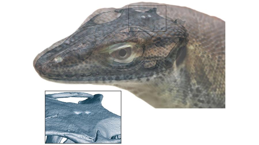 Evidencia fósil insólita de un lagarto extinto con cuatro ojos