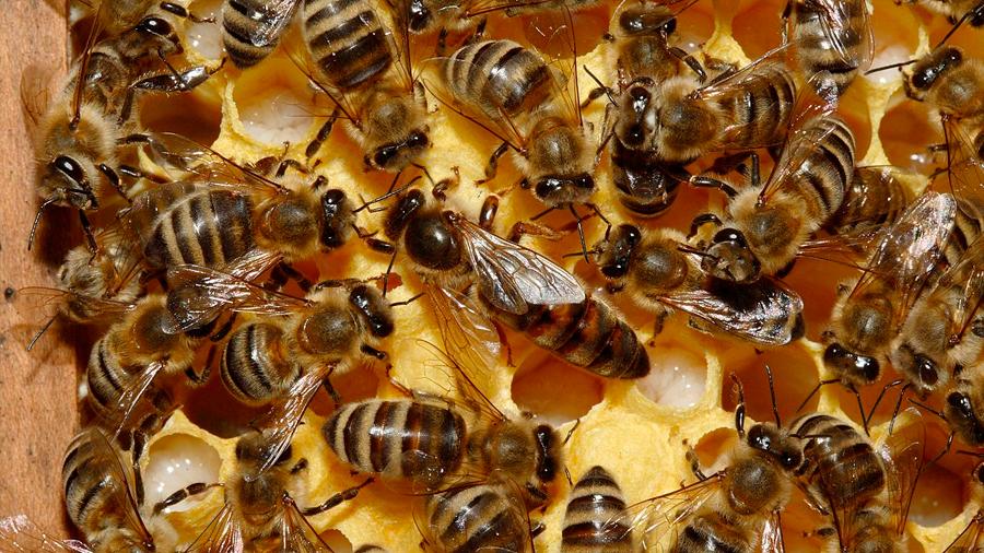 Las colonias de abejas imitan al cerebro humano