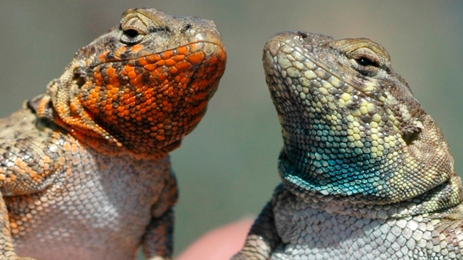 Cuando las lagartijas ligan, ¿Una estrategia evolutivamente estable?