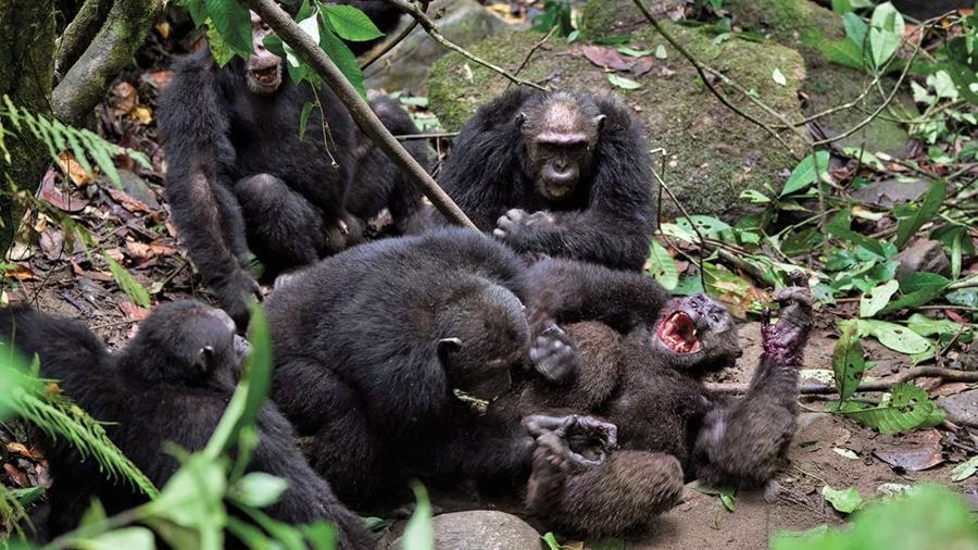 """Los motivos tras la sangrienta """"Guerra de 4 años"""" entre chimpancés, la única su tipo documentada"""