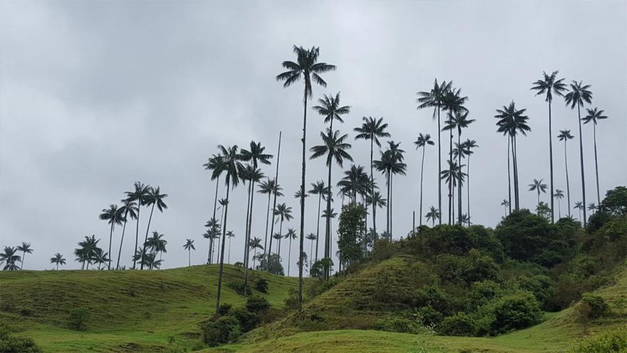 También hay palmas transexuales: palmeras de cera nacieron machos y mutaron a hembras