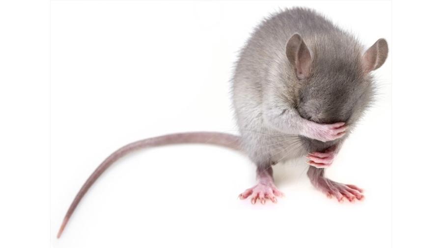 La regulación de una proteína frena la obesidad y la diabetes en ratones