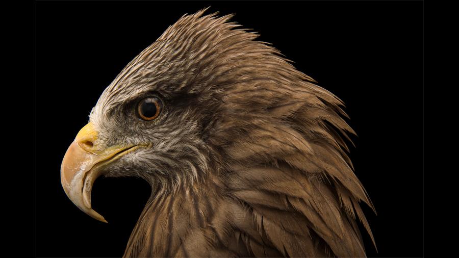 Descubren aves que provocan incendios para cazar a sus presas