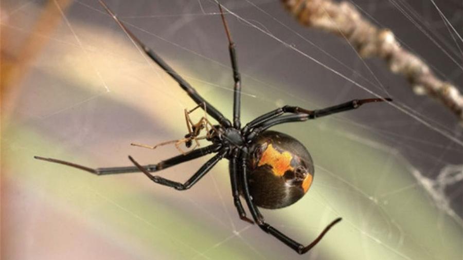 Arañas de espalda roja, una historia de canibalismo y pederastia