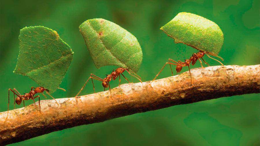 Hormigas recurren a una bacteria para geolocalizar su nido
