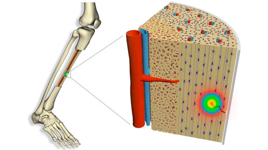 Tico descifra cómo los huesos se regeneran de las microfracturas