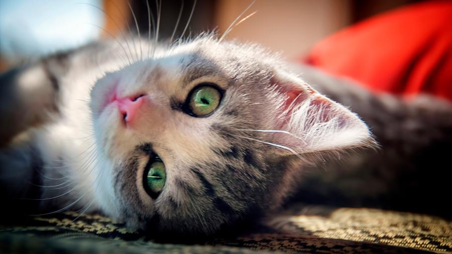 Científicos desarrollan dispositivo para oír como los gatos