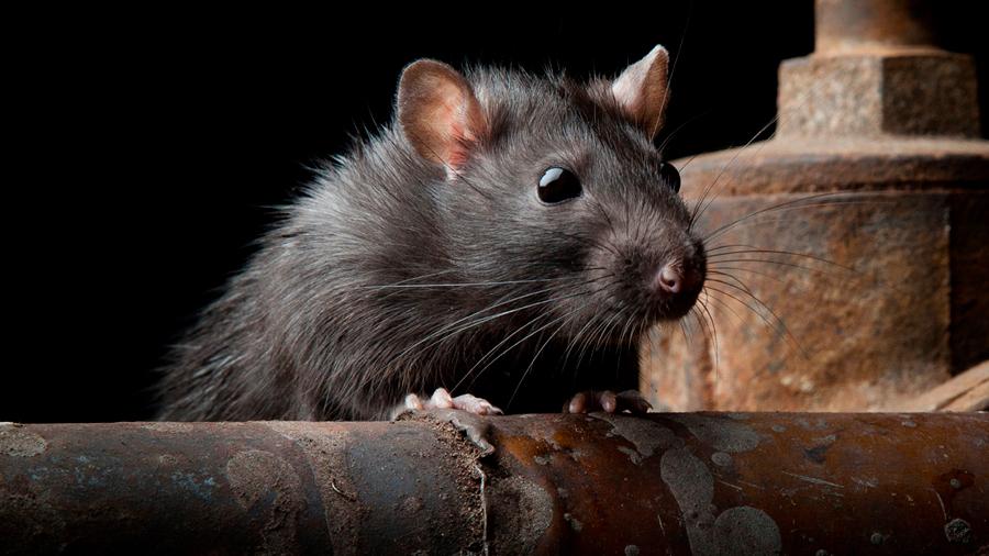 Los ratones escuchan 'a escondidas' las señales de las lágrimas de las ratas