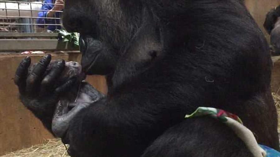 El tierno momento en que una mamá gorila besa a su bebé recién nacido