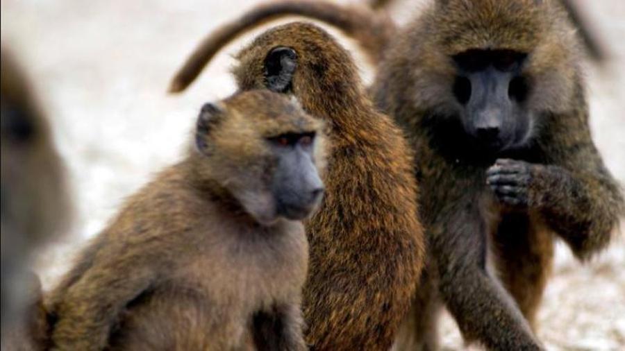 Cuatro babuinos se confabularon para escapar de un centro de investigación