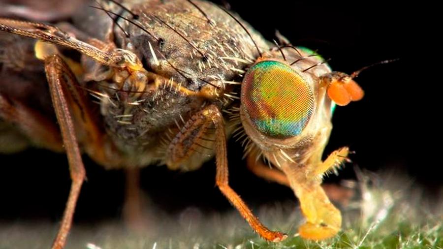 Descubren el novedoso método de una mosca para reducir su temperatura corporal