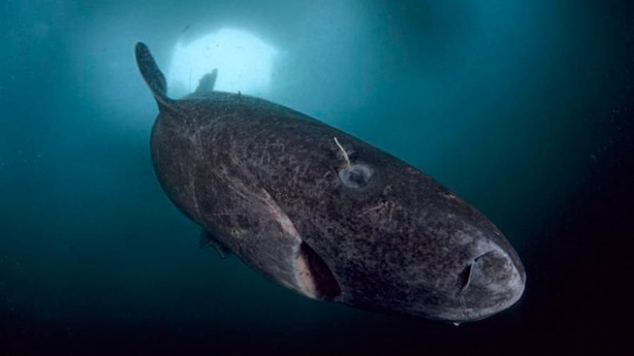 Científicos descubren un tiburón de ¡512 años años vivo!