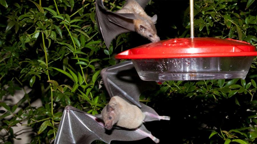 Salvan de la extinción a murciélago polinizador del agave tequilero