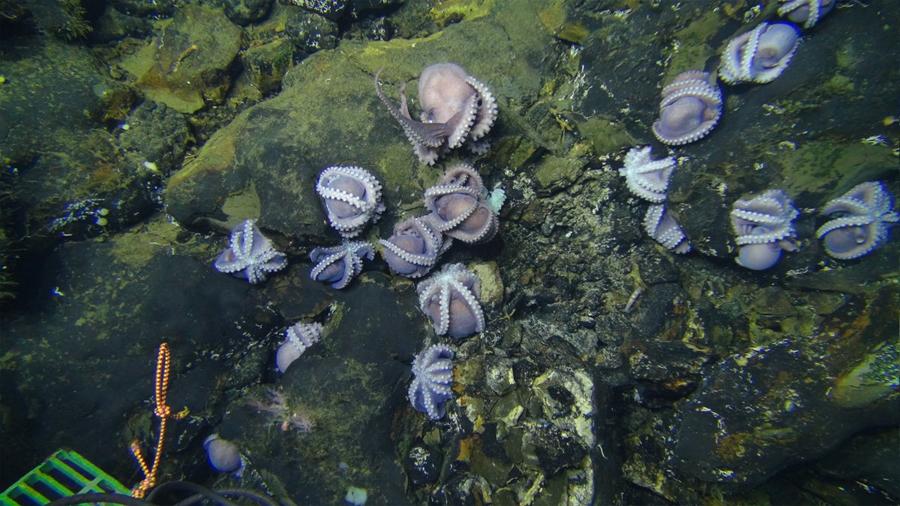 Sorprenden a cien madres pulpo a una profundidad inusual en el Pacífico