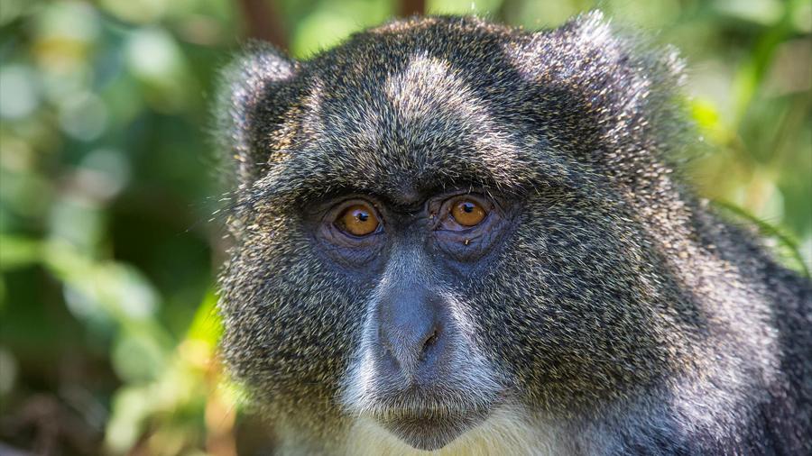 Obtienen primera evidencia de dos especies de primates diferentes apareándose