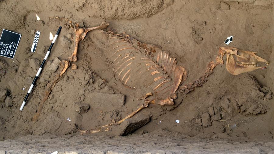 Hallan restos de un caballo enterrado con sudario hace 3,000 años en el Nilo