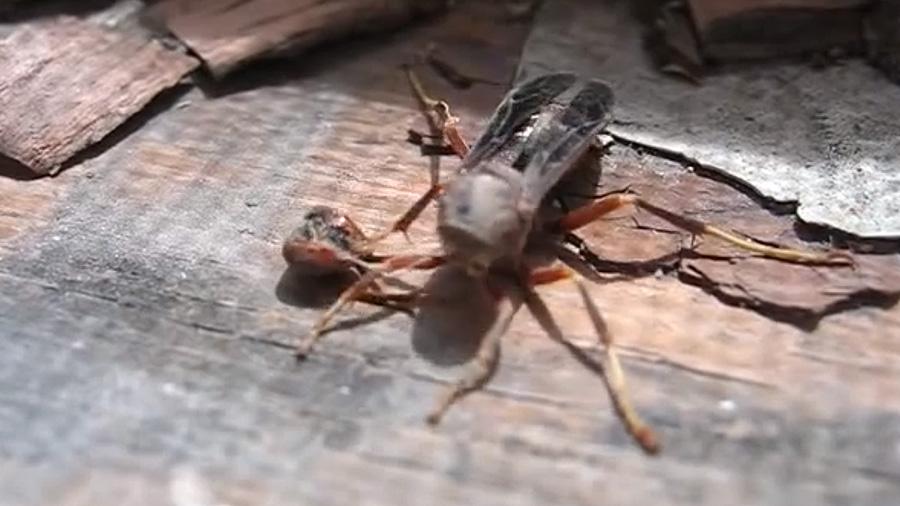 Increible video: Avispa decapitada recoge su cabeza y vuela de regreso