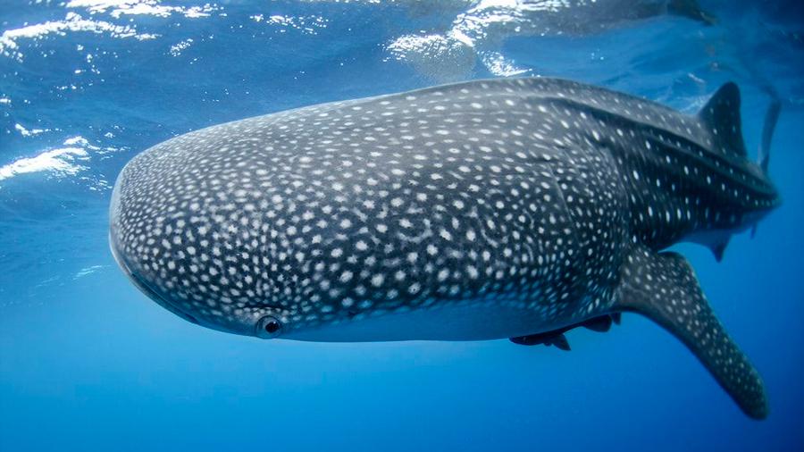 Un tiburón ballena realiza la mayor migración transpacífica jamás registrada: más de 20,000 kilómetros