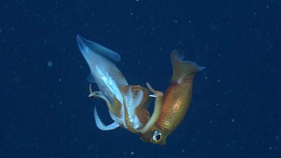 Investigadores descubren calamares caníbales en las costas de California