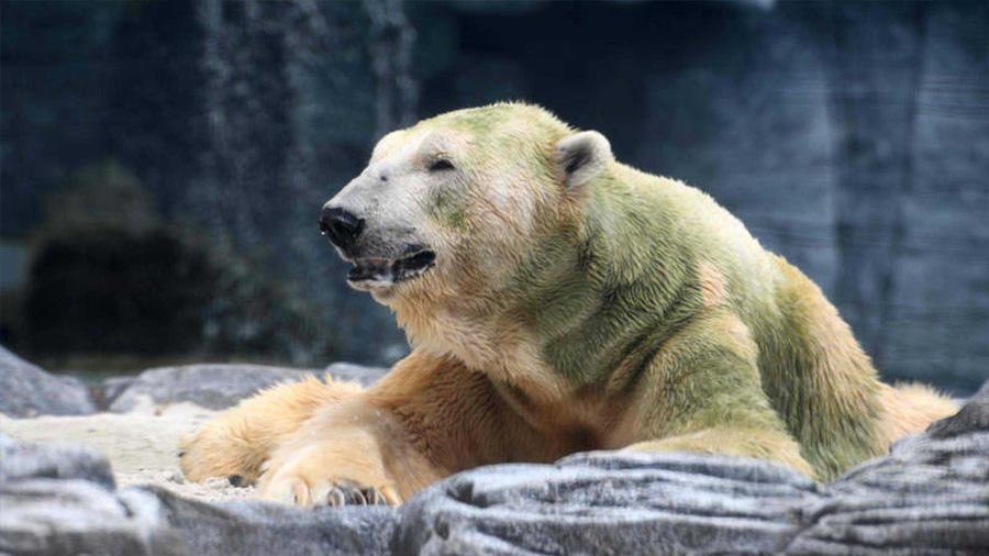 Muere 'Inuka', el primer oso polar nacido en el trópico