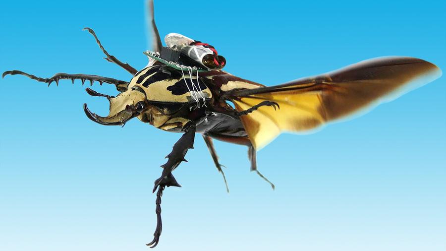 Científicos convierten escarabajos en cyborgs y logran controlar sus vuelos