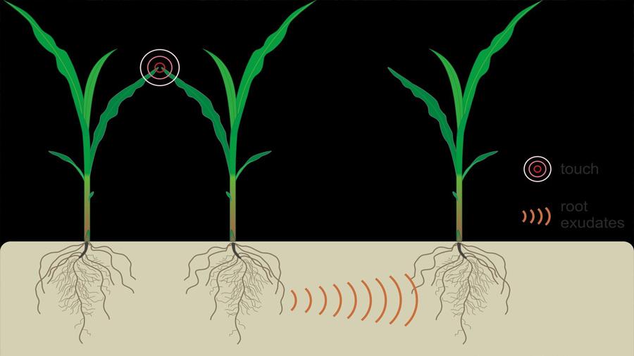 Las plantas averiguan bajo tierra cuándo sus vecinas están estresadas