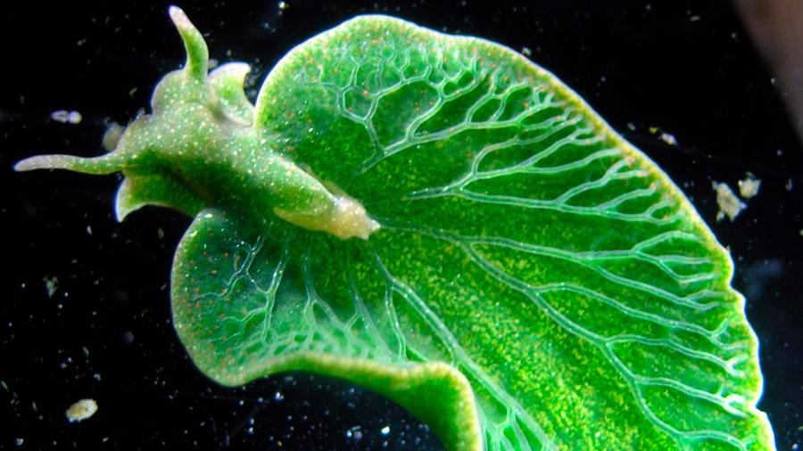Babosas roban a las algas su sistema de fotosíntesis en provecho propio