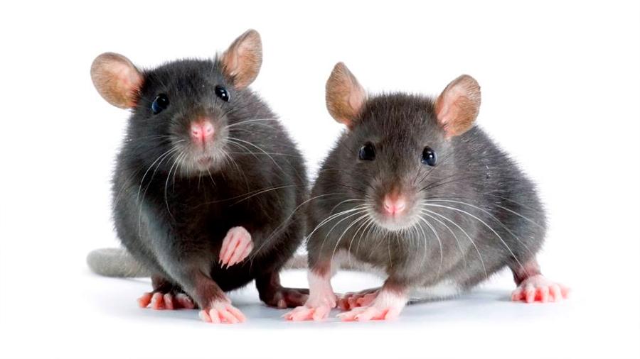 Logran que los ratones se vuelvan cobardes o valientes manipulando su cerebro
