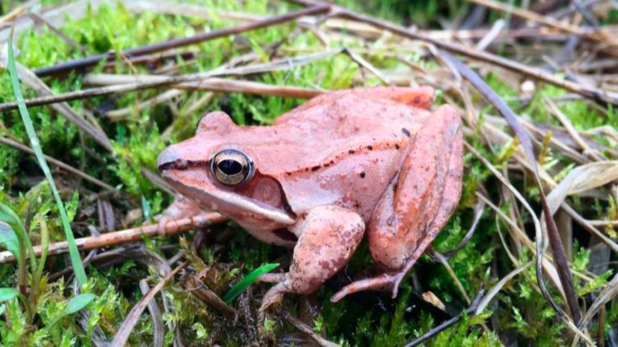Una rana de bosque retiene orina por meses para sobrevivir el invierno