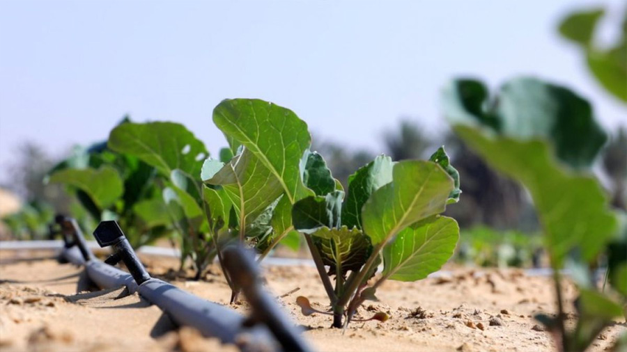 Innovadora técnica es capaz de convertir la arena del desierto en tierra fértil