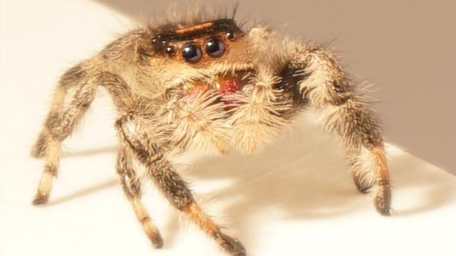 Kim, la araña saltadora entrenada en la Universidad de Manchester