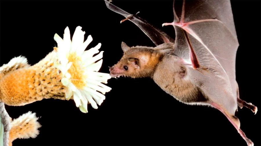Cómo el tequila salvó a los murciélagos magueyeros de la extinción