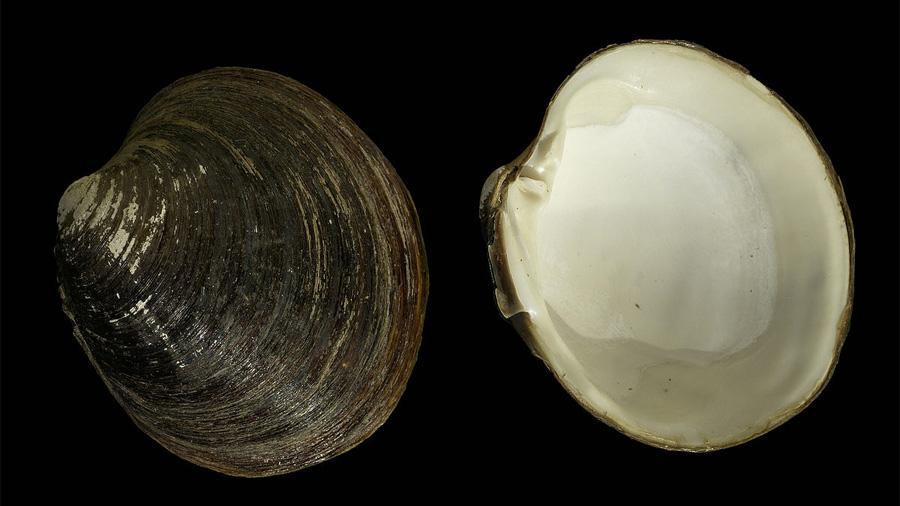 Una almeja del Atlántico Norte es uno de los seres más longevos: 507 años