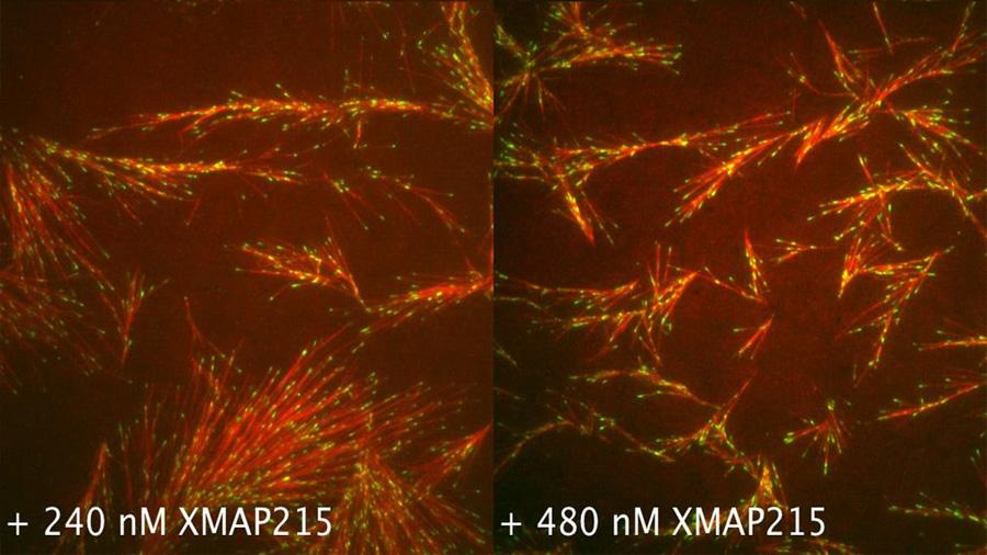 Una proteína, eslabón perdido que forma el 'esqueleto' de las células