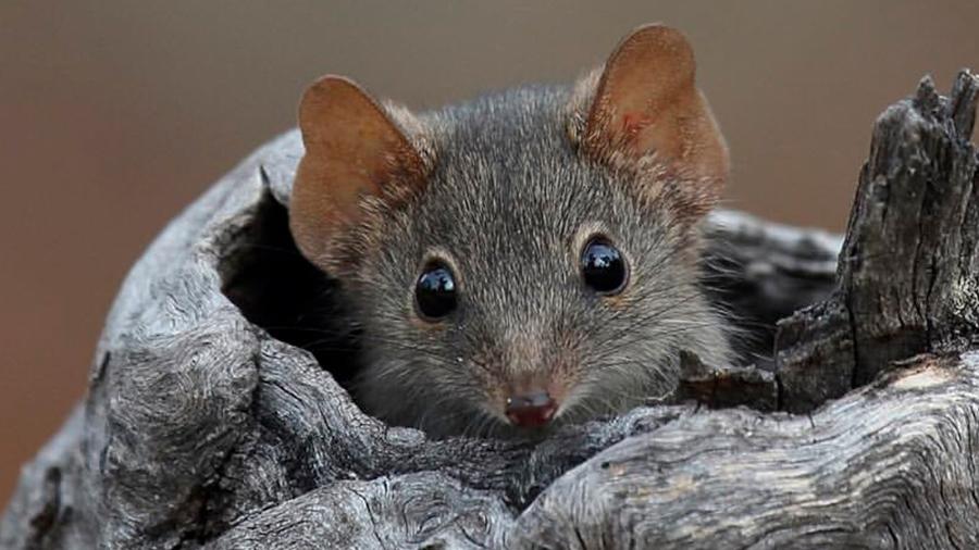 El hábito sexual suicida de dos especies de marsupiales las pone en riesgo de extinción