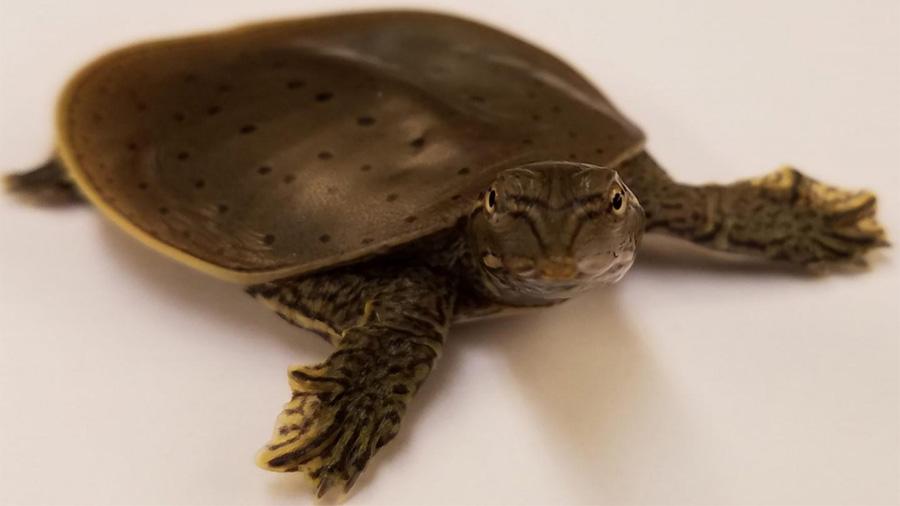 El genoma de los dinosaurios se vislumbra entre los de aves y tortugas