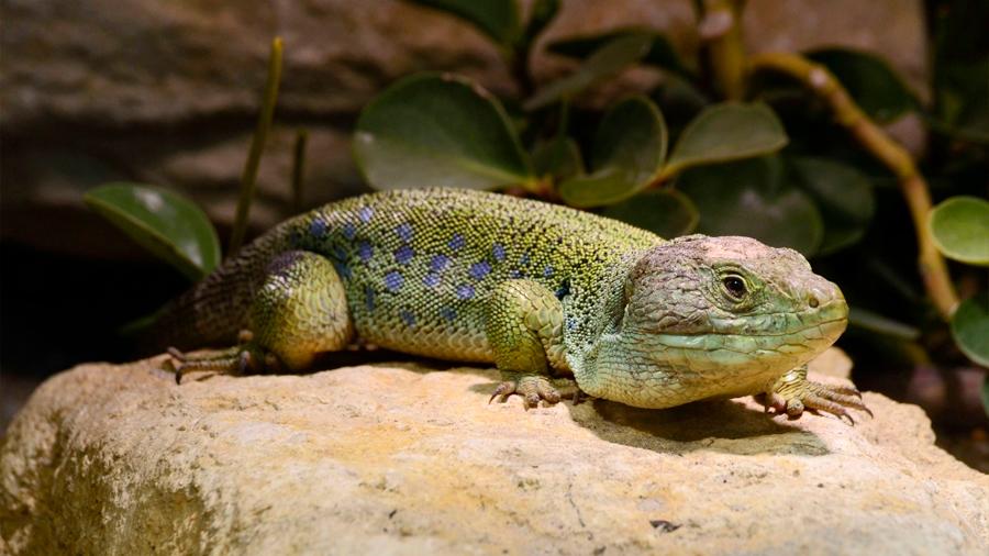 El misterio sin resolver de la sangre verde de algunos reptiles