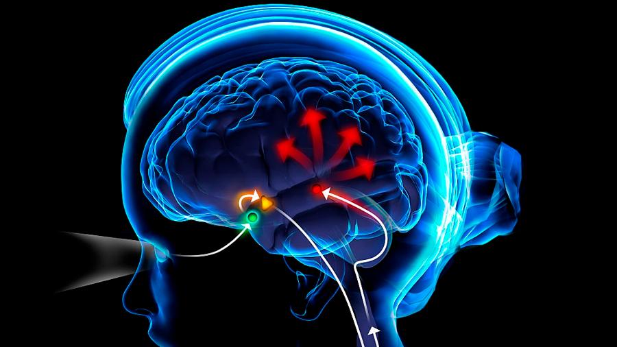 Descubren cómo la melatonina suprime las neuronas que mantienen despierto y alerta al cerebro