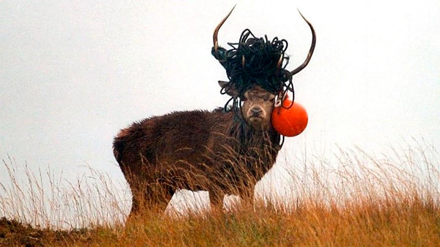 La perturbadora imagen de un ciervo con una soga y una boya en sus astas