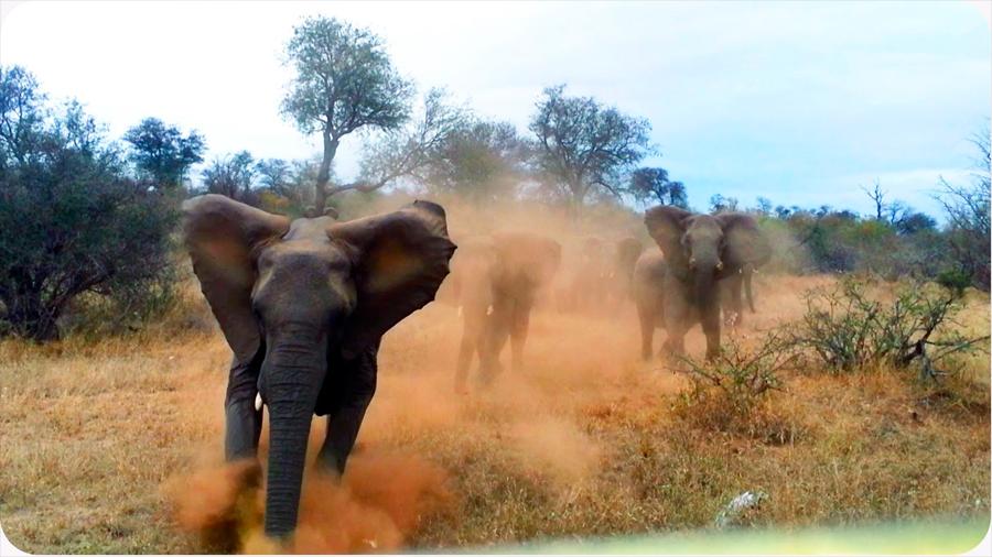 La caza ilegal afecta el modo de vida de los elefantes que se ven obligados a huir