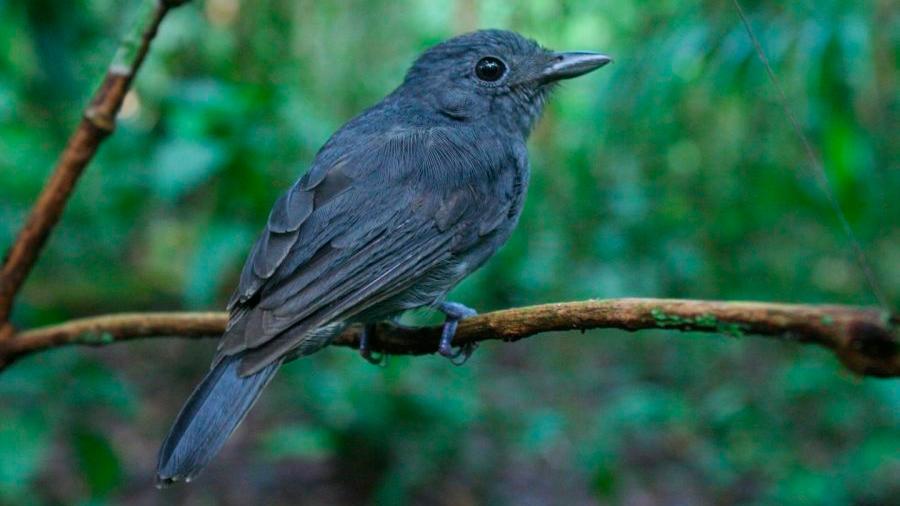 Pájaros amazónicos 'vigías' ayudan a sobrevivir a otras especies