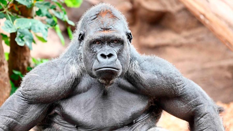 Descubren que algunos simios tienen músculos que se consideraban exclusivos de los humanos