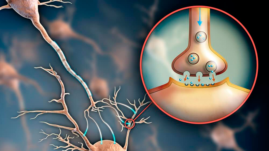 Identifican investigadores neuronas vinculadas a la agresividad
