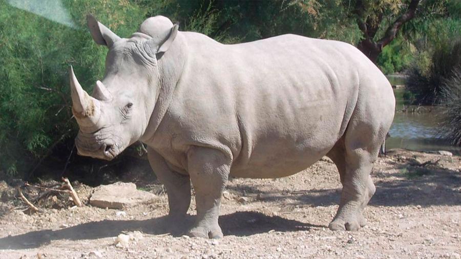 El embarazo de una rinoceronte blanca podría evitar la extinción de una subespecie