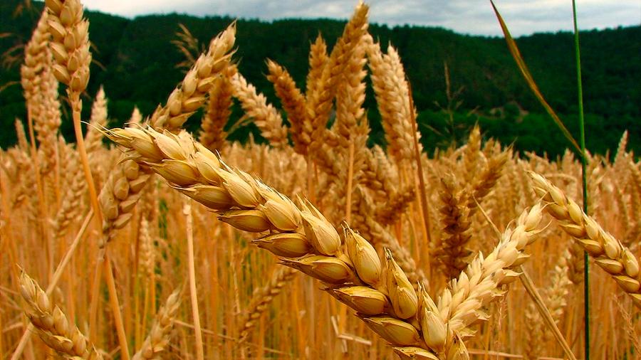 Investigadores desarrollan un nuevo tipo de trigo que contiene diez veces más fibra